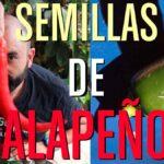 cómo conseguir semillas de jalapeños